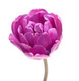 dubbel lila pionperfektiontulpan royaltyfria foton
