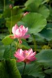 Dubbel Lotus Royalty-vrije Stock Fotografie