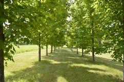 Dubbel rad av härliga träd Arkivbilder
