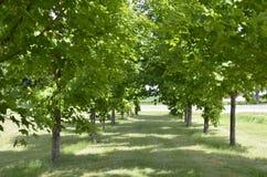 Dubbel rad av härliga träd Royaltyfri Bild