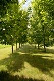 Dubbel rad av härliga träd Fotografering för Bildbyråer