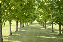 Dubbel rad av härliga träd Royaltyfria Bilder