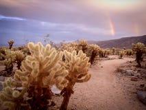 Dubbel regnbåge över den Cholla kaktusträdgården, Joshua Tree Royaltyfri Foto