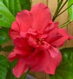 Dubbel rosa hibiskus fotografering för bildbyråer