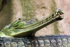 Dubbel stående av gharialsna, Gavialisgangeticus som ligger på de arkivfoton