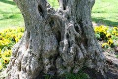 Dubbel stam av olivträdet royaltyfri fotografi
