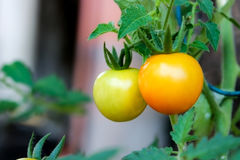 Dubbel tomat Royaltyfri Bild