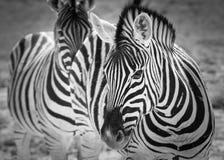 Dubbel vision för sebra, Etosha nationalpark, Namibia Arkivfoto