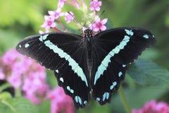 Dubbele Blauwe Vlinder Royalty-vrije Stock Foto