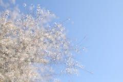 dubbele blootstelling, abstract beeld van kersenboom Stock Afbeelding