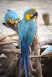 Dubbele bule wilde papegaaien Stock Fotografie