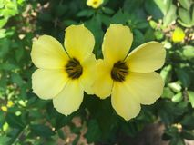 Dubbele gele bloemen Stock Afbeeldingen