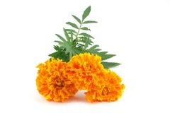 Dubbele gele goudsbloemen Stock Afbeeldingen