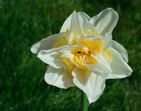 Dubbele Gele narcis Narcissus White en Geel op grasachtergrond Stock Afbeelding
