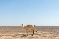Dubbele kamelen Stock Afbeelding
