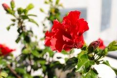 Dubbele Rode Hibiscusbloem Stock Fotografie