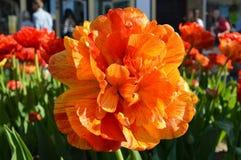 Dubbele Rose Tulip, sluit omhoog stock fotografie