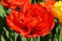 Dubbele Rose Tulip, sluit omhoog stock foto's