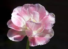 Dubbele roze Tulp stock foto's