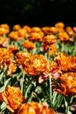 Dubbele tulpen die in tuin tot bloei komen stock afbeeldingen