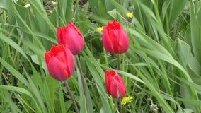 Dubbele tulpen rode kleur stock videobeelden