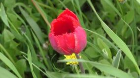 Dubbele tulpen rode kleur stock footage