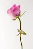 Dubbelfoto för rosa färgrosstudio med vit bakgrund Royaltyfria Foton