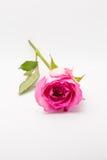 Dubbelfoto för rosa färgrosstudio med vit bakgrund Royaltyfri Fotografi