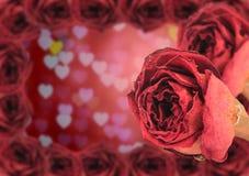 dubbelhärlig torr röd ros med ramen på suddighetshjärtabokeh Royaltyfria Bilder