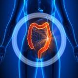 Dubbelpunt - Vrouwelijke Organen - Menselijke Anatomie royalty-vrije illustratie