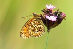 Dubbelstipparelmoervlinder, δίδυμος-σημείο Fritillary, Brenthis hecat στοκ φωτογραφία με δικαίωμα ελεύθερης χρήσης
