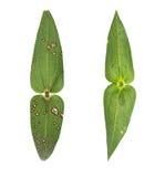 Dubbelt blad som isoleras på med den cliping banan Arkivbilder