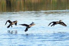 Dubbelt krönat kormoranflyg ovanför - vatten som in kommer för att landa royaltyfri fotografi