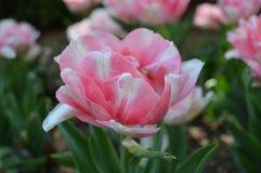 Dubbelt rosa färginfall Tulip Close Up Royaltyfri Fotografi