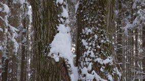 Dubbelt stamträd som täckas med den nya insnöade vita vinterskogen arkivfilmer