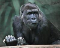 dubbio Ritratto delle emozioni espressive di una gorilla femminile immagini stock libere da diritti