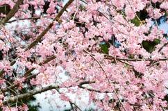 Dubbla Cherry Blossoms längs Nakaragi-ingen-michi bana, Kyoto Royaltyfri Bild