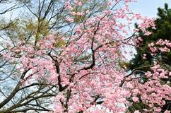 Dubbla Cherry Blossoms längs Nakaragi-ingen-michi bana, Kyoto Arkivfoton