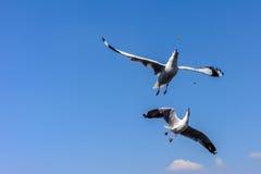 Dubbla flygseagulls Fotografering för Bildbyråer