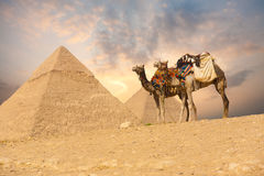 dubbla giza för kamel pyramider Royaltyfria Foton