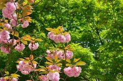 Dubblett-blommat körsbärsrött träd på den Ninnaji templet, Kyoto Japan Arkivfoton