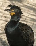 Dubblett krönad kormoran Royaltyfri Bild