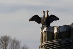 Dubblett krönad kormoran Arkivfoto