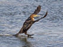 Dubblett krönad kormoranlandning royaltyfri fotografi
