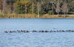 Dubblett krönade cormorants Arkivfoton