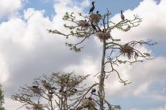Dubblett-krönat bygga bo för kormoran Arkivbild