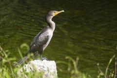 Dubblett-krönat kormorananseende på en vagga Arkivfoto