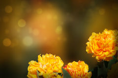 Dubblett-skönhet gul tulpan Fotografering för Bildbyråer