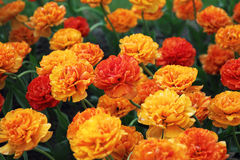 Dubblett-skönhet gul tulpan Royaltyfri Fotografi