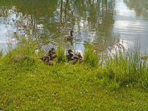 Dubbling duck with babies Royalty Free Stock Images